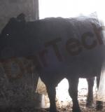 Perdea Grajduri Vaci